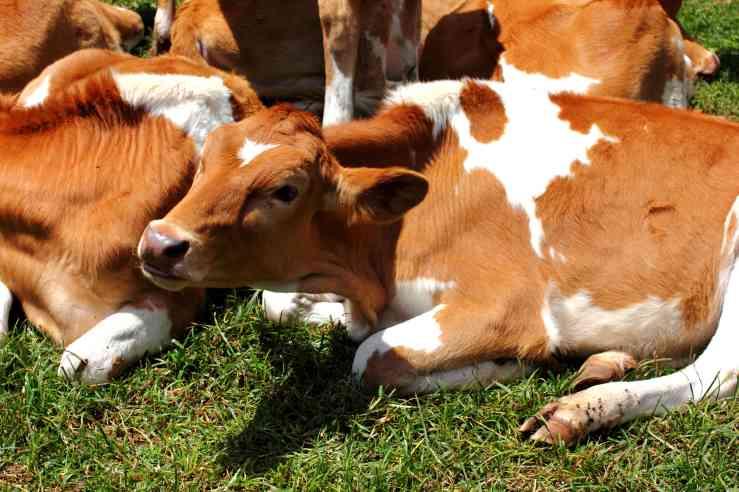 Kiambethu cows