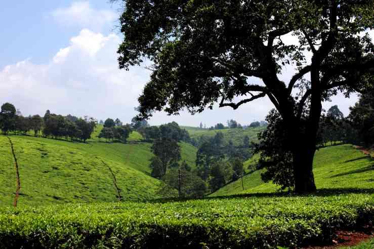 Kiambethu Tea